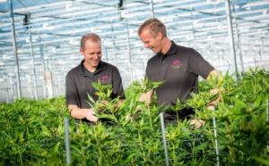 dutch-grower-uses-supplemental-led-lighting-to-boost-lily-yield